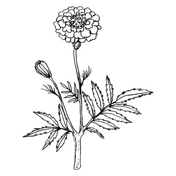 Branch of marigold flower. (Tagétes). Hand drawn linear ink sketch.  Black silhouette on white background.