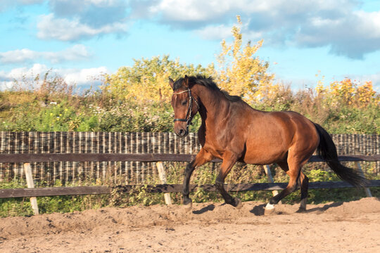 brown horse runs along a fence on a sunny autumn day