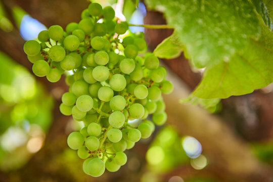 Bunch of grapes in Ribeira Sacra. Galicia, Spain