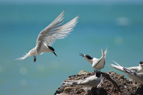 White-fronted terns Sterna striata. Cape Kidnappers Gannet Reserve. North Island. New Zealand.