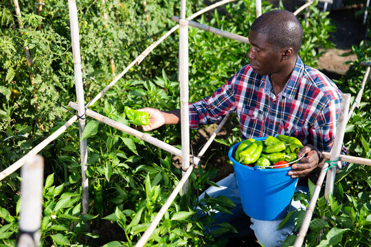 Positive afro male farmer picking carefully bell peppers in bucket on plantation. High quality photo