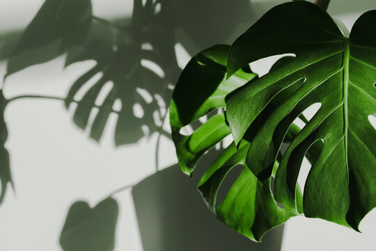 Monster flower against the wall with shadows, illuminated by the sun. High quality photo. Shadows from the window on the wall. Flowers and plants for the home. Contrast photography. Close-up monstera