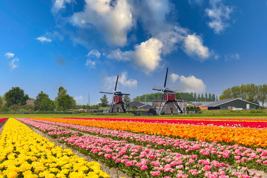 Traditional Dutch landscape with colorful blooming tulips and two windmills against a blue sky with scattered clouds and very popular as a point of interest for tourists and travel agents
