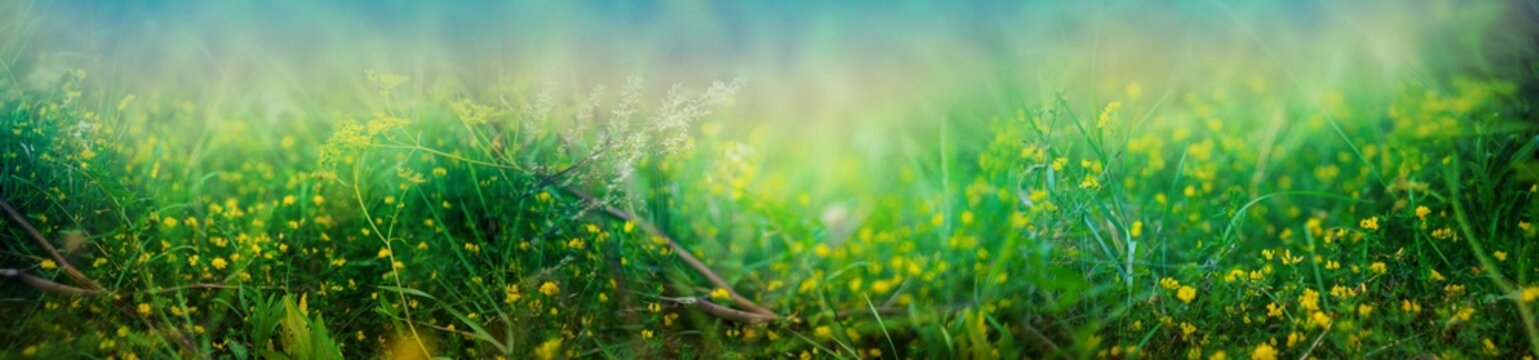 yellow flower background. landscape with yellow alfalfa flowers in the evening.