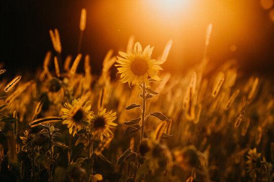 Closeup shot of sunflowers at sunset