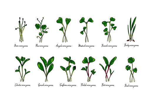 Set of hand drawn micro greens including sunflower, radish, beet, barley, cilantro, spinach, onion, peas, arugula, mustard, basil.