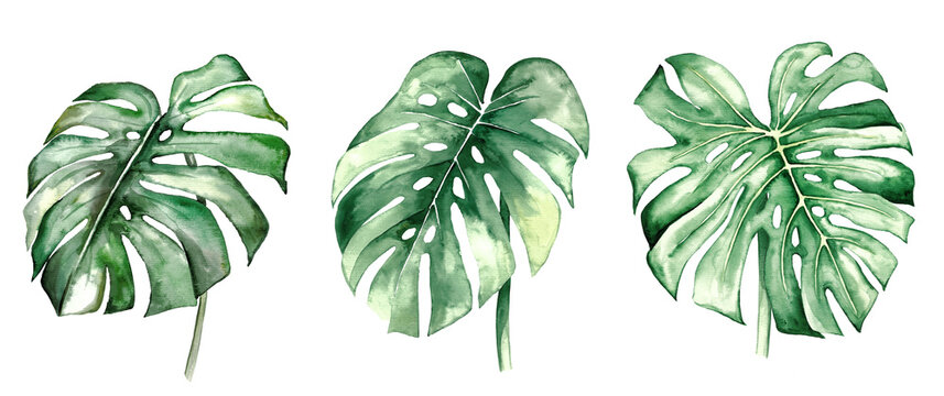 Watercolor monstera tropical leaves illustration
