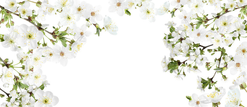 Amazing spring blossom. Tree branches with beautiful flowers on white background, banner design