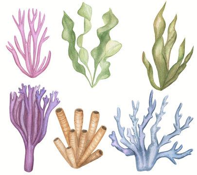 Seaweed set. Underwater plants. Watercolor illustration. Ocean. Sea.