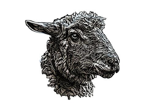sheep head illustration