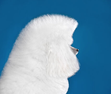 Portrait of white toy poodle