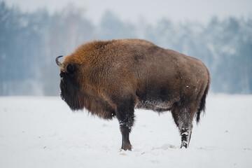 Fototapeta Bison in winter