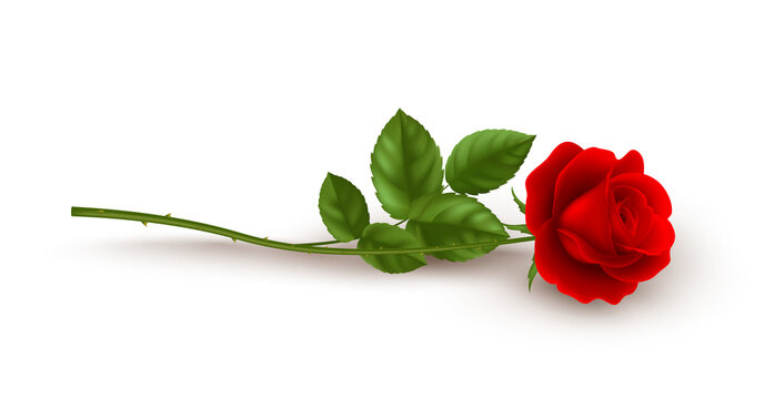 Realistic red rose lying on white background. Vector illustration
