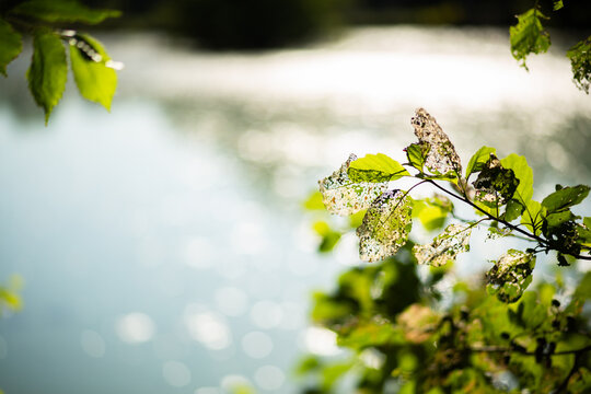 Skelton leaves on its tree with water in the background. Freelensing.
