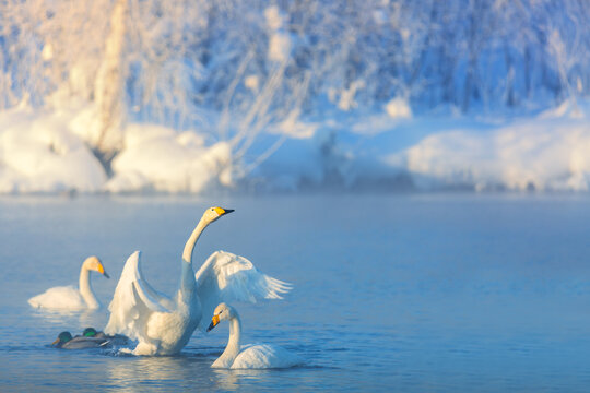 White whooper swans swimming in the nonfreezing winter lake. Altai, Russia