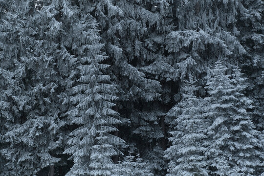 Fir tree covered in snow at forest