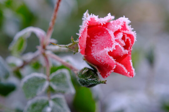 Pink roses covered in winter frost