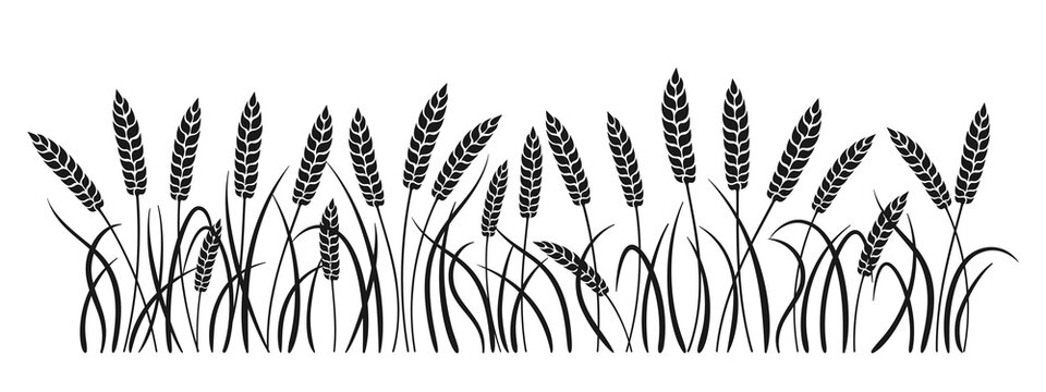 Field black silhouette wheat spikelets. Gold ears ripe, agricultural symbol flour production. Design background organic farm elements, organic vegetarian bread packaging beer label vector