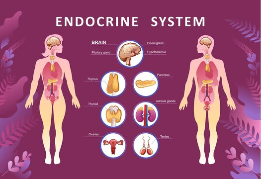 human endocrine system organs poster