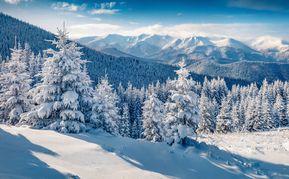 Picturesque morning view of Carpathian mountains with Chornogora ridge on background. Fresh snow covered fir trees and mountain valley in December. Beauty of nature concept background..