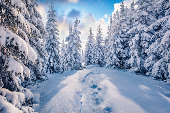 Beautiful winter scenery. Unbelievable morning  view of the mountain forest. Sunny winter landscape of Carpathian mountains. Amazing sunrise on top of hill. Beauty of nature concept background..