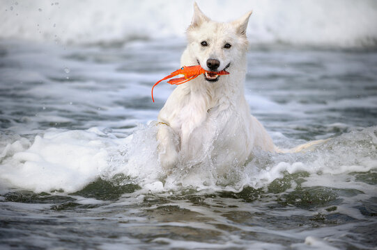 White Swiss Shepherd on the ocean in holiday