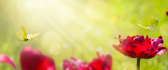 Fototapeta art abstract blurred spring background or summer background with fresh tulips flowers and butterfly obraz