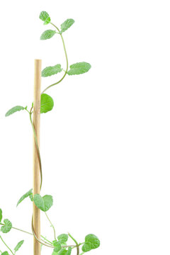 Fresh peppermint branch with leaves waving around wooden stick with place for text vertical macro