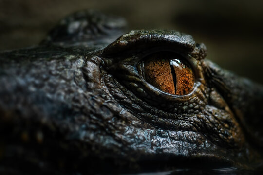Cuvier's Smooth-fronted Caiman - Paleosuchus palpebrosus, eye detail of small South American crocodile, Brazil.