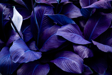 Wall Mural - closeup nature view of purple leaves background and dark tone