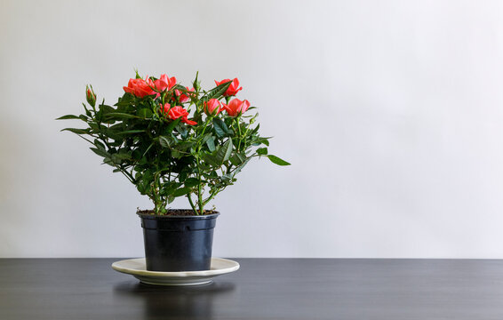 A red rose bush in a pot on a black table.