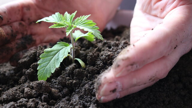 close-up of a man's palms burying a cannabis sprout into the dark loose ground, caring for a small sprout, planting seedlings in a nutritious soil, seasonal occupation with plants