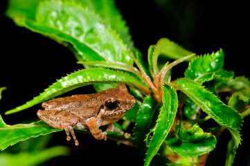 Wall Murals Frog Ruderfrosch (Rhacophoridae) in Sri Lanka // Shrub frog in Sri Lanka