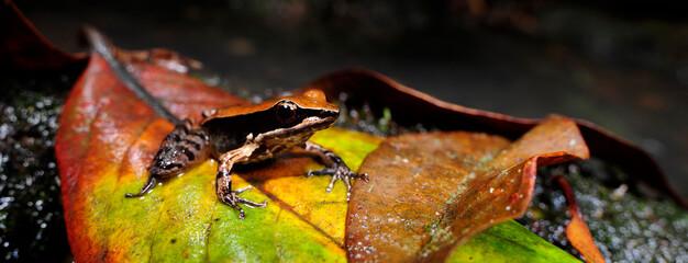 Wall Murals Frog Bronzefrosch // Bronzed frog (Indosylvirana temporalis) - Sri Lanka