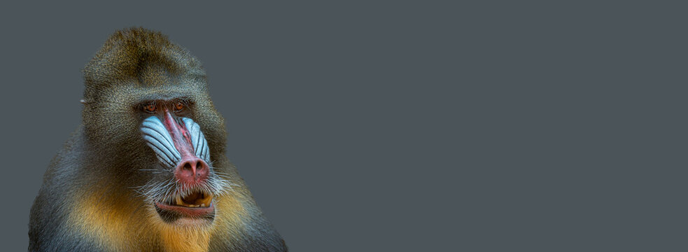 Banner with portrait of a mature alpha male of colorful African mandrill at solid grey background with copy space. Concept animal diversity, care and wildlife conservation.