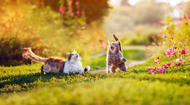 two beautiful cats on a summer sunny day meadow catch a flying butterfly