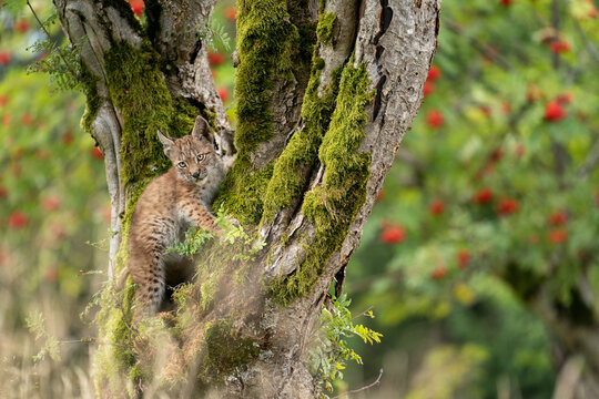 Lynx cub standing on a mossy tree trunk with blurred trees with red fruits
