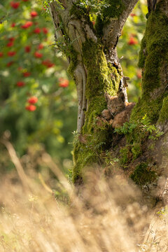 Sitting small lynx cub in a mossy tree with red furits tree in the background and golden long grass on a bottom.