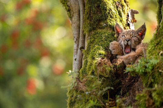 Yawwning cute small lynx cub in a mossy tree with red furits tree in the background.