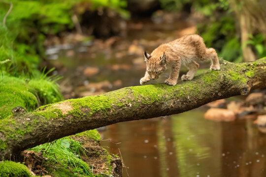 Lynx cub is walking on fallen mossy tree trunk across forest stream.