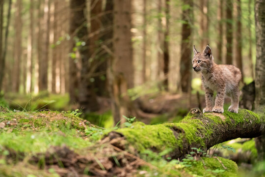 Small lynx cub standing on a mossy fallen tree trunk on the forest