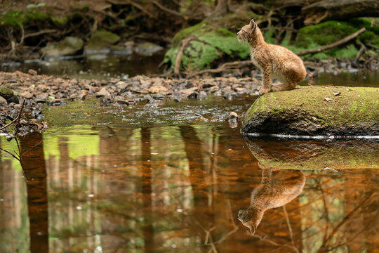 Lynx cub sitting on the stone in the forest with reflection in the stream