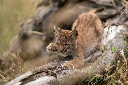 Lynx cub sharpening its claws on the trunk of a fallen tree