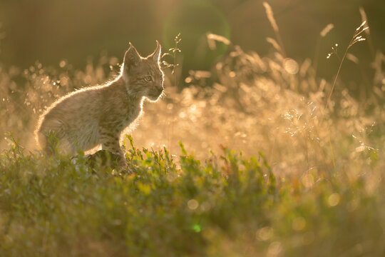 Lynx cub sitting from profile side in tall grass in the golden light of the sunset.