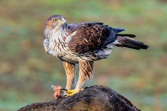 Aigle de Bonelli posé. Aquila fasciata. Les Baux-de-Provence. Département des Bouches-du-Rhône. France.,  Espèce menacée d'extinction