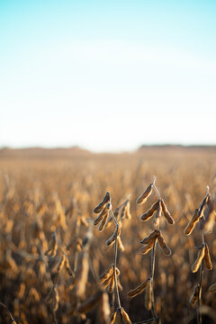 Rural Ohio Soy Bean Farm