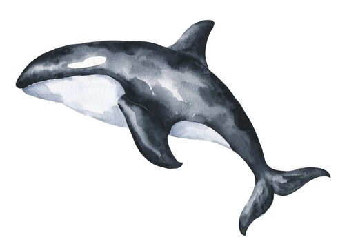 Watercolor killer whale on white background. Watercolour animal illustration.