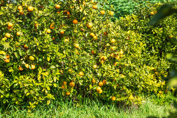 Orange tree covered with ripe fruits in green foliage. Orchard