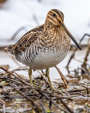 Common Snipe bird on the pond in the snow