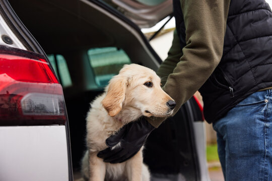 Male Criminal Stealing Or Dognapping Puppy And Putting Them In Car